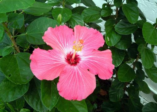 My Hibiscus 04