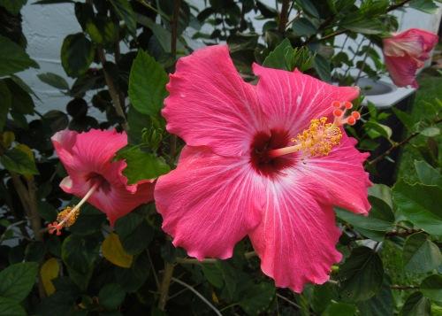 Hibiscuses1