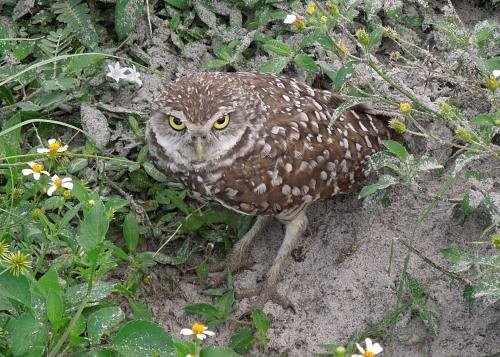 Burrowing Owl 01